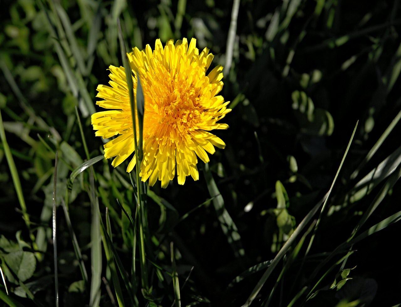 tuhykorinek-pampeliska-lekarska-kvetouci